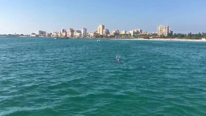بالفيديو/ زائر لطيف على شاطىء مدينة صور...دولفين اقترب من رواد الشاطىء ليلهو معهم