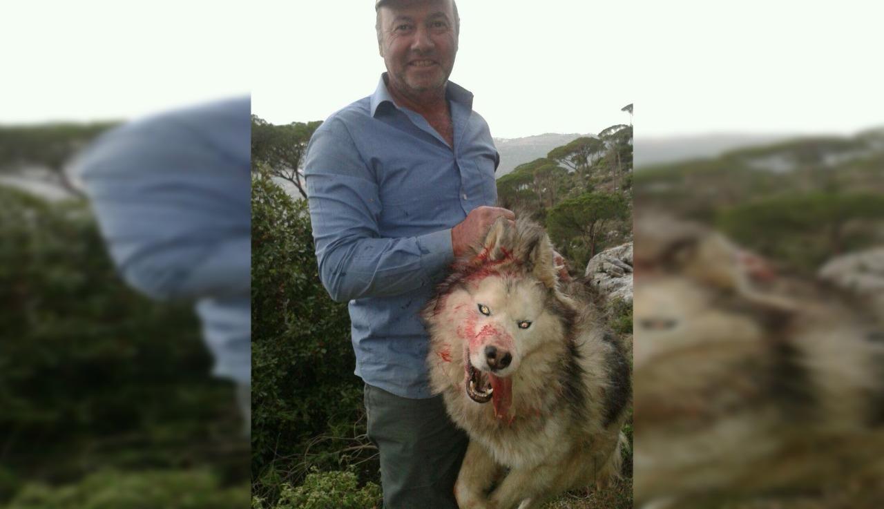 """بالصورة/ أثار جدلا واسعا على مواقع التواصل الاجتماعي...راع قتل كلب """"مالاموت"""" في المتن ظنا منه أنه ذئب"""