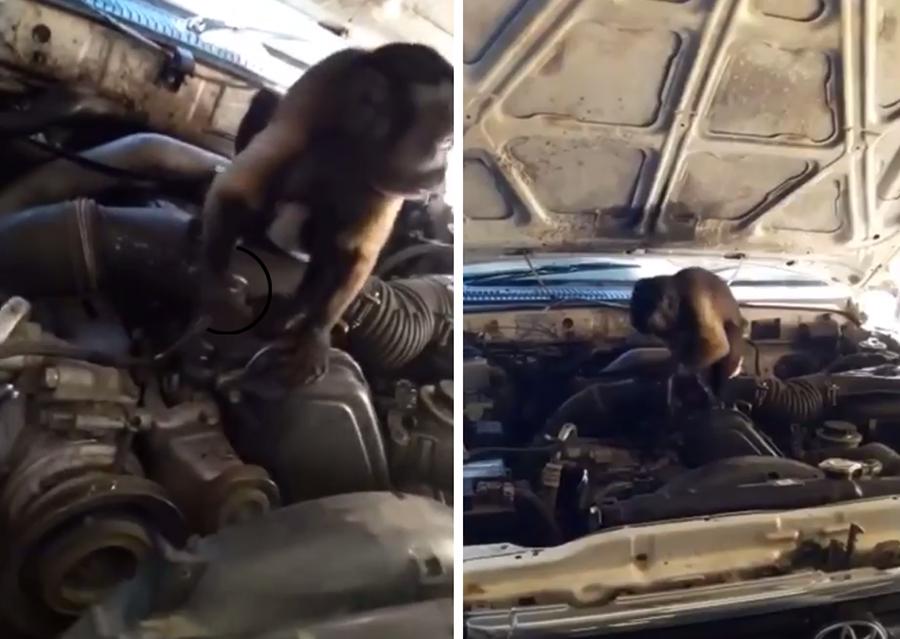 """بالفيديو/ من أدغال افريقيا الى حي السلم...قرد """"يعمل"""" في الميكانيك"""