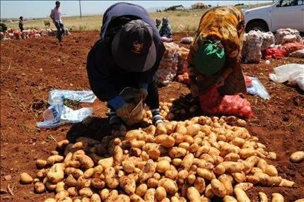 سهل البقاع: مزارعو البطاطا يتحسرون علـى موسـم ممتـاز لا يمكـن تصريفـه