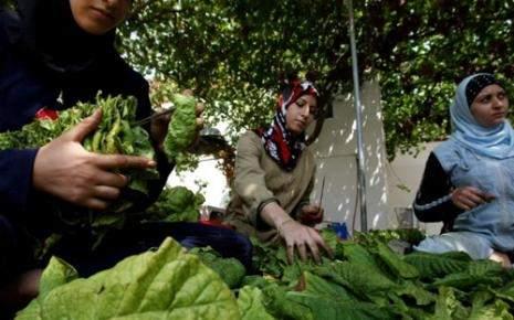 كيف يصوم مزارعو التبغ رمضان؟