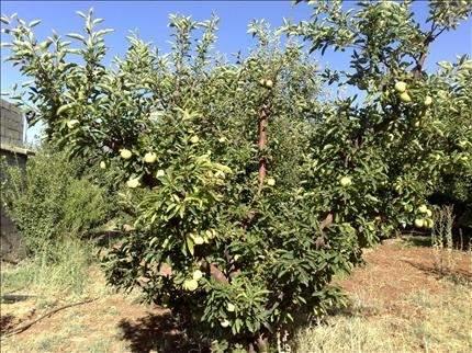 أعالي المتن الأعلى: إنتاج التفاح يتقلص بنسبة 70 في المئة