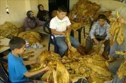 عكار: مزارعو التبغ يجددون مطالبتهم بضمانهم ورفع الأسعار