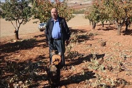 عين كفرزبد: «مجهولون» يقطعون أشجار الكرز.. لبيعها كحطب