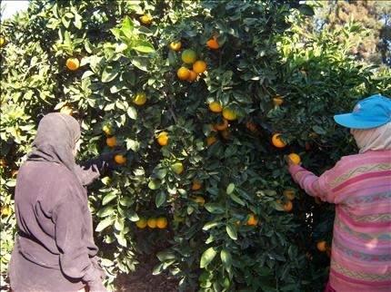 المنية: تراجع الحمضيات لصالح الزراعات البديلة والغابات الباطونية