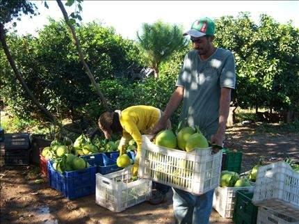 مزارعو الحمضيات في عكار يطالبون بتأمين أسواق بديلة