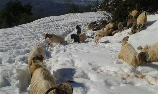 الثلوج تهدد آلاف رؤوس الماشية في العرقوب