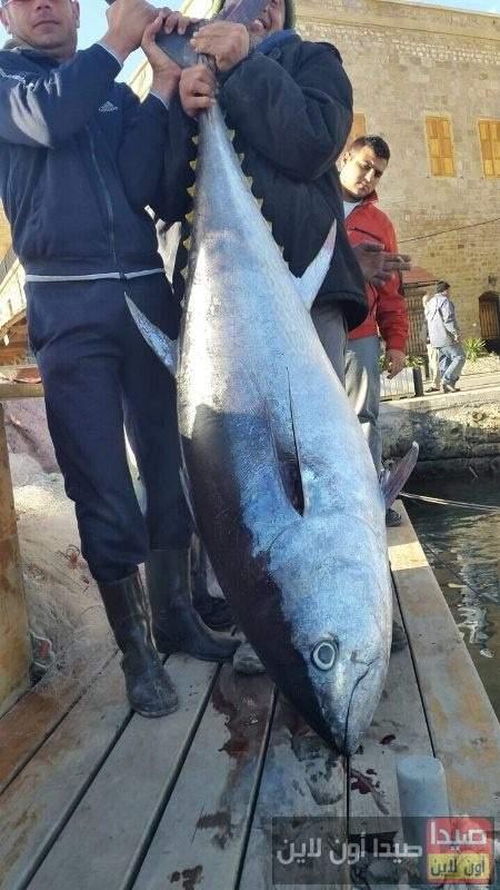 بالصور/  سمكة تونا تزن 100 كلغ في شباك احد الصيادين في صور