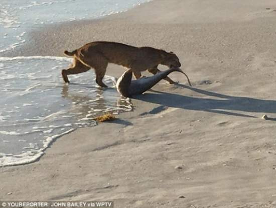 صورة تثير الجدل في أمريكا.. قط بري يصطاد سمكة قرش