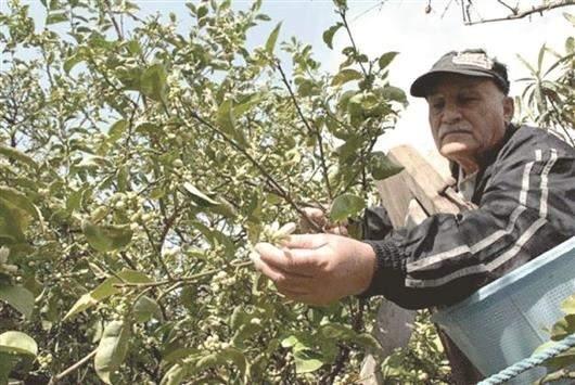 زهر الليمون في مغدوشة: مهنة «تراثية»