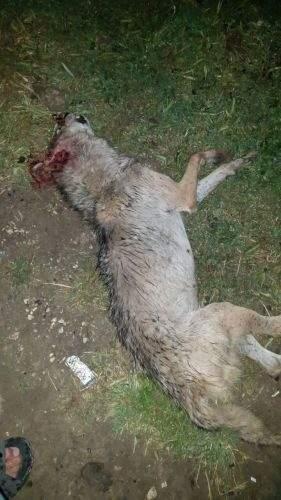 قتل زوج ذئاب في البقاع الغربي!