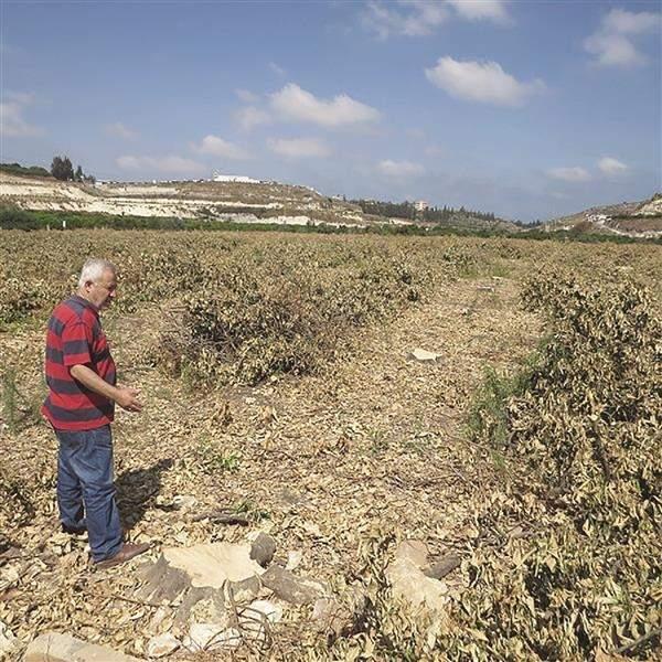 أزمة المعابر تقطع آلاف أشجار الحمضيات في صور