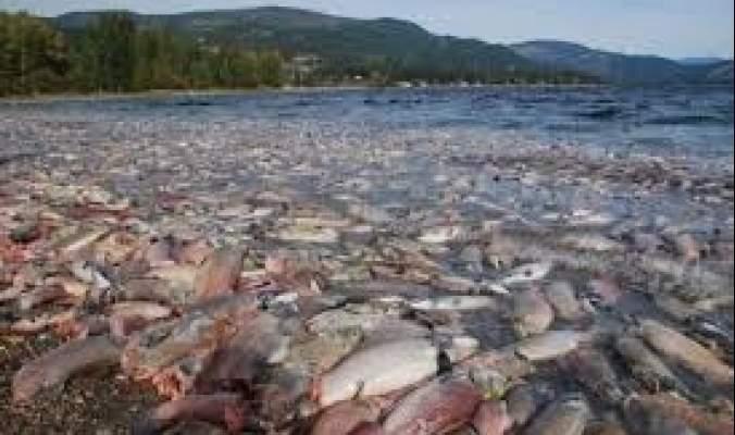 ارتفاع حرارة الانهار في شمال غرب أمريكا تتسبب في نفوق كميات هائلة من أسماك السلمون