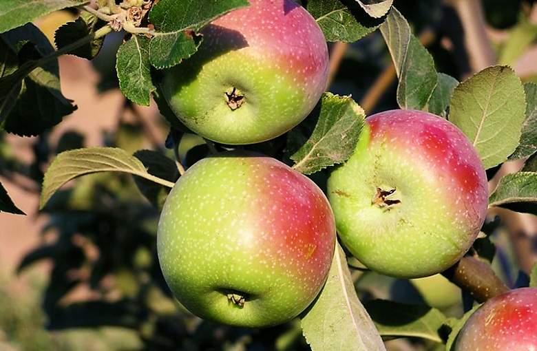 لماذا يغني تناول التفاح بانتظام عن زيارة الطبيب؟