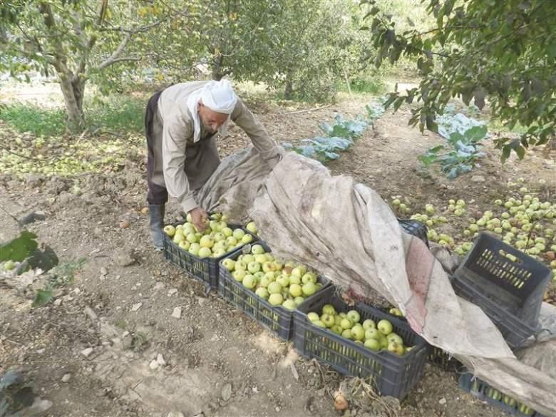 تفاح الحاصباني: الطقس والأدوية الزراعية الفاسدة تطيح الموسم