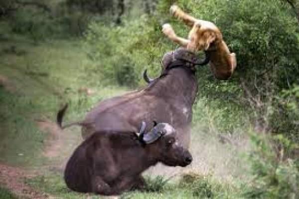 شاهد بالفيديو..أقوى المعارك بين أشرس الحيوانات