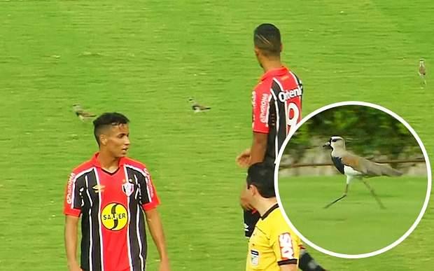 بالفيديو/ الطيور توقف مباراة كرة قدم رسمية في البرازيل