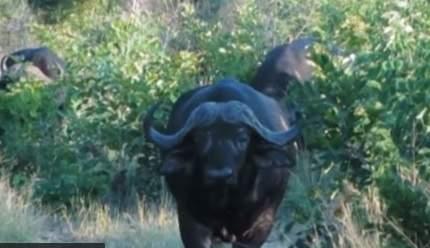 بالفيديو: جاموسة شجاعة تقضى على 7 أسود جائعة بطريقة عجيبة جداً.. شاهد ماذا فعلت بهم !