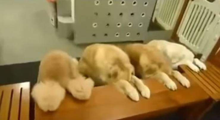 فيديو| كيف تأكل الكلاب فى اليابان؟!