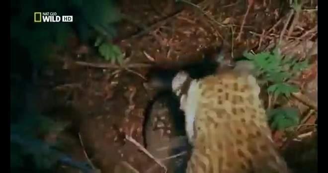 فيديو رهيب لافعى تبتلع النمر