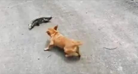 معركة حامية و ظريفة بين كلب وسحلية ... فمن يفوز؟
