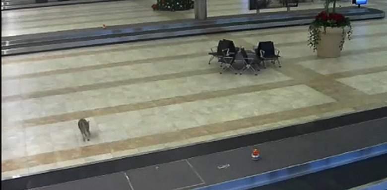 بالفيديو/ ذئب بري يتسلل إلى مطار في ساوث كارولاينا