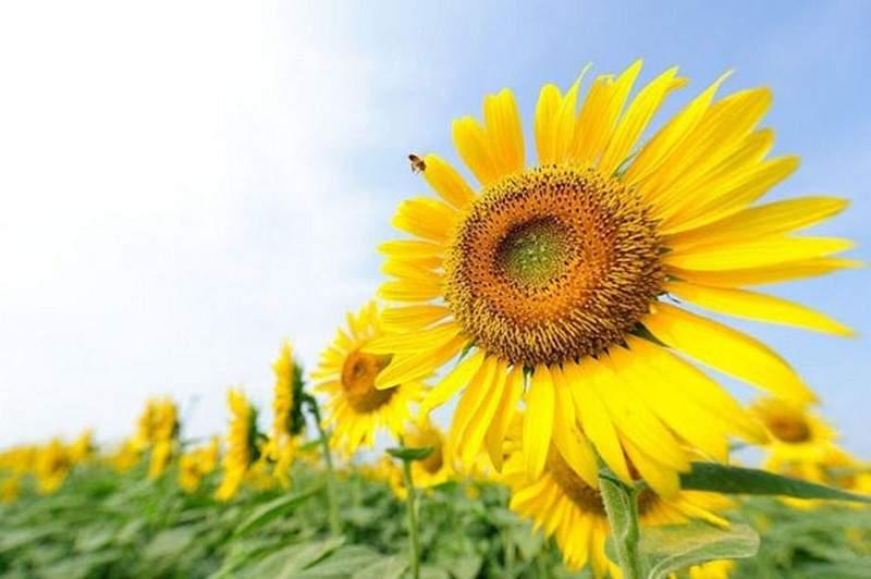 اكتشاف سر اتجاه نبات دوار الشمس نحو الشمس!