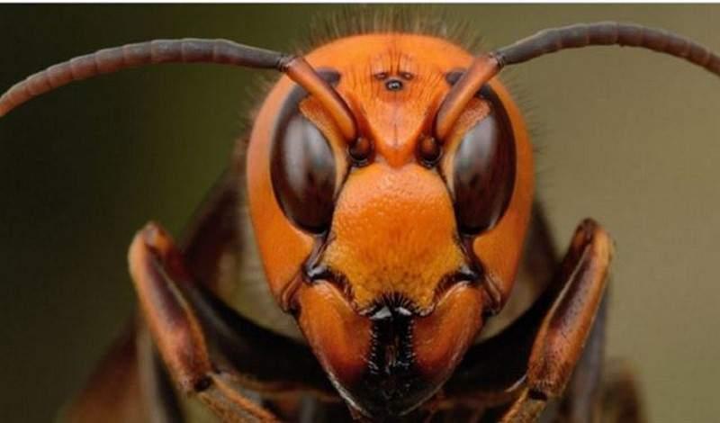 الحشرة القاتلة في اليابان!