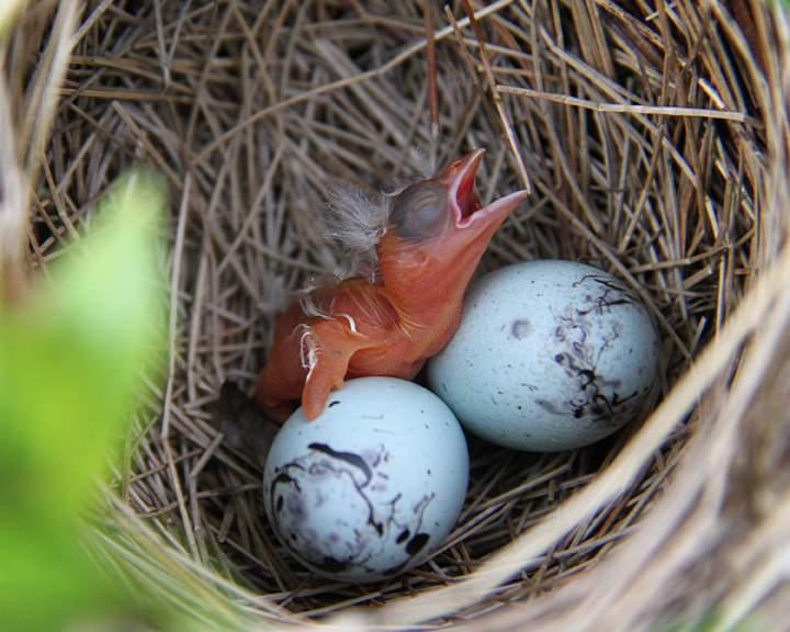 """كيف """"تتحدث"""" العصافير مع فراخها قبل فقس البيض؟"""