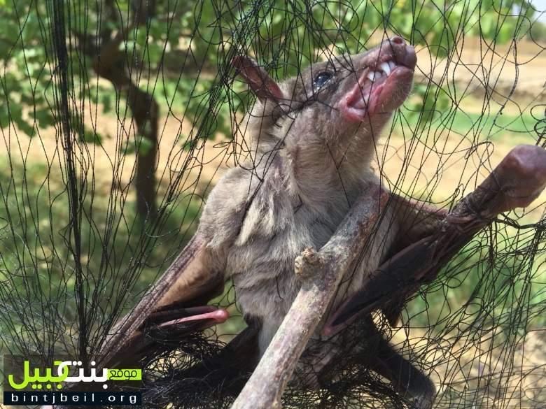 بالصور / العثور على خفاش عملاق في رأس بعلبك