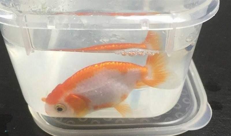 انفقت 500 دولار لإنقاذ سمكة قيمتها 12 دولاراً