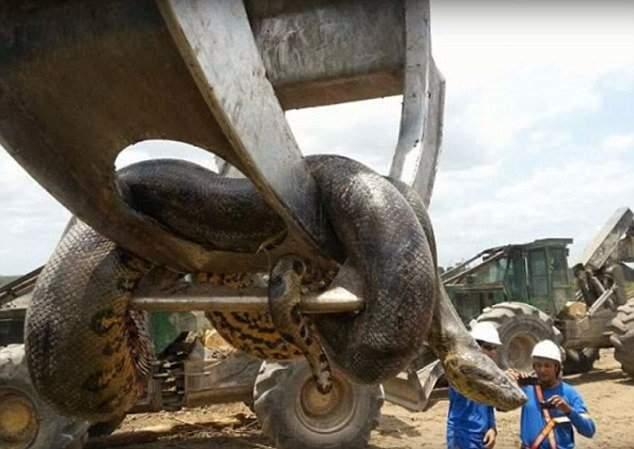 بالفيديو/ العثور على ثعبان أناكوندا عملاق في موقع بناء