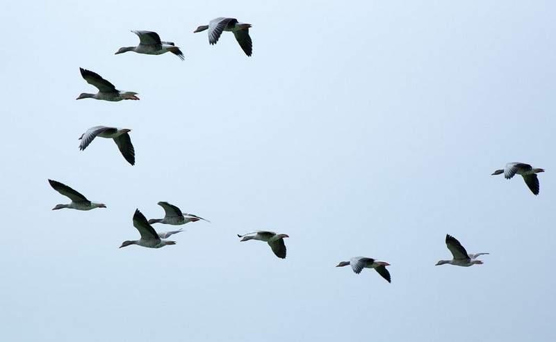 ما سر عدم تصادم الطيور ببعضها أثناء تحليقها؟!