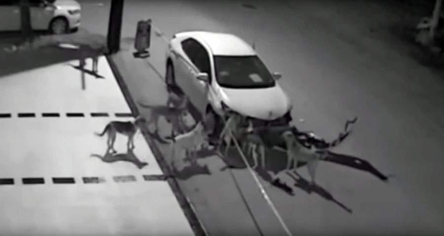 بالفيديو/ كلاب ضالة تهاجم سيارة وتحطمها خلال دقائق!
