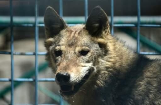 ذئبة تفر هاربة عند تقديمها الى ذئب في حديقة الحيوان في زغرب