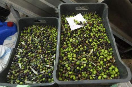 مزارعو الزيتون في الهرمل: الإنتاج تراجع 80%