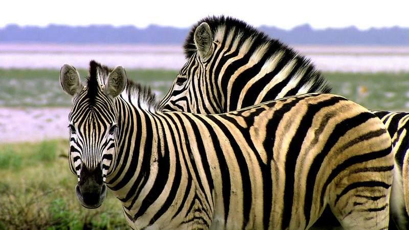معلومات مثيرة.. لماذا تكون بعض الحيوانات مُخطَّطة؟