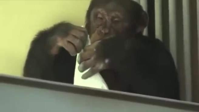بالفيديو.. القردة التي تحافظ على نظافة المنزل