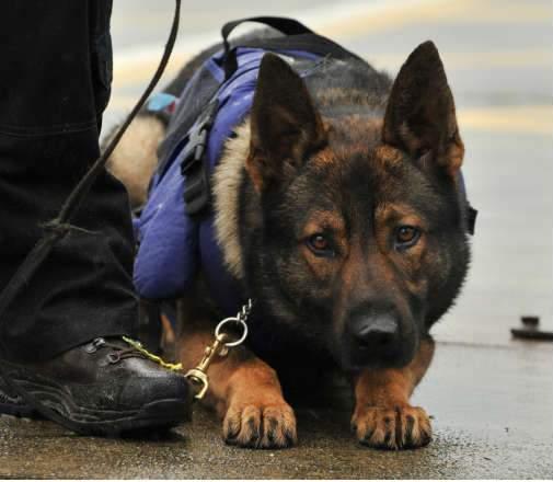 كلب بوليسي يفضح قاضياً بحوزته 68 كيلو حشيش!