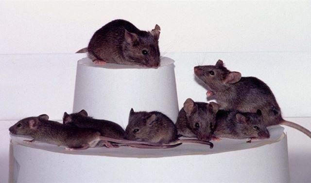 فئران للكشف عن الألغام والتفتيش