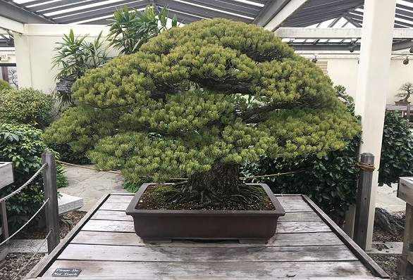 شجرة عمرها 400 عام نجت من هيروشيما وتستمر بالنمو