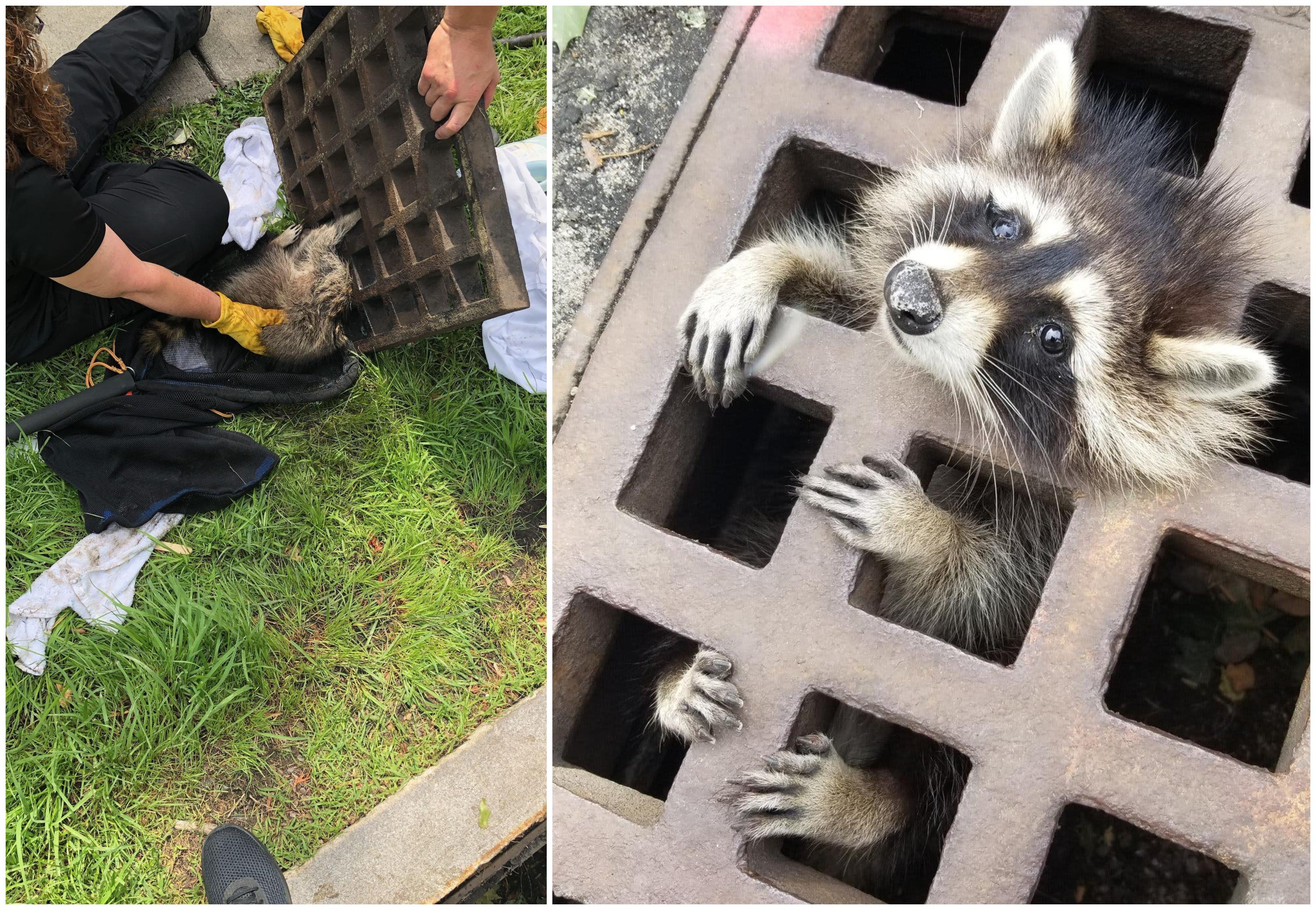 بالصور/ العملية استمرت لساعات...راكون علق في فتحة مجارٍ فأنقذوه وأعطوه مهدئاً