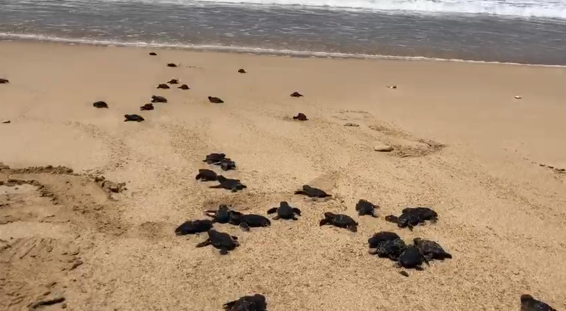 بالفيديو/ السلاحف البحرية تغزو شاطئ صور في مشهد جميل...وتنطلق إلى البحر!