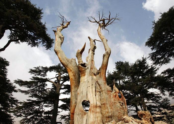 """""""الأمر أشبه بنيران دمرت الغابة"""".... التغير المناخي يهدد رمز لبنان بالدمار!"""