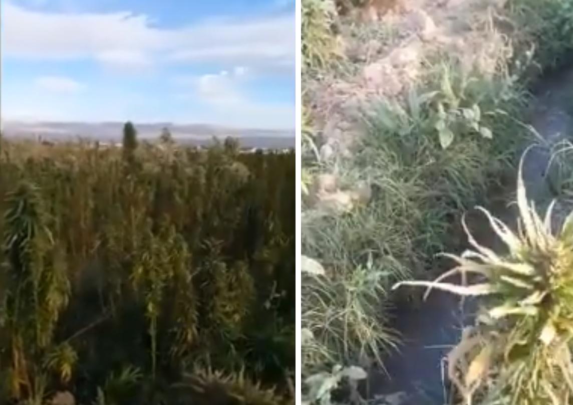"""بالفيديو/  حقول الحشيشة تُسقى في لبنان من الصرف الصحي.. و""""النتيجة يحللها المشاهدين""""!"""