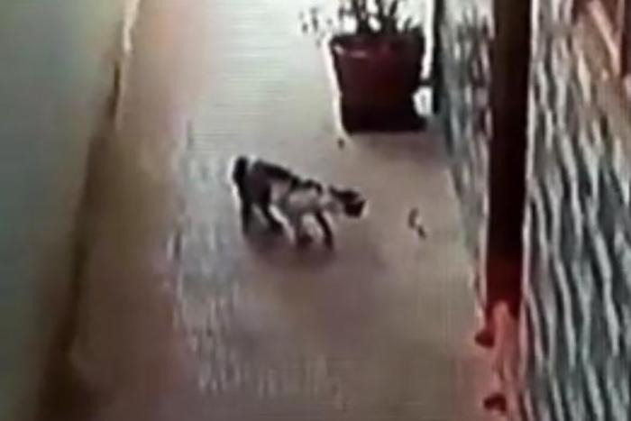 """بالفيديو/ معركة شرسة بين قط وأفعى...القط """"أنقذ"""" أطفال العائلة من كوبرا!"""