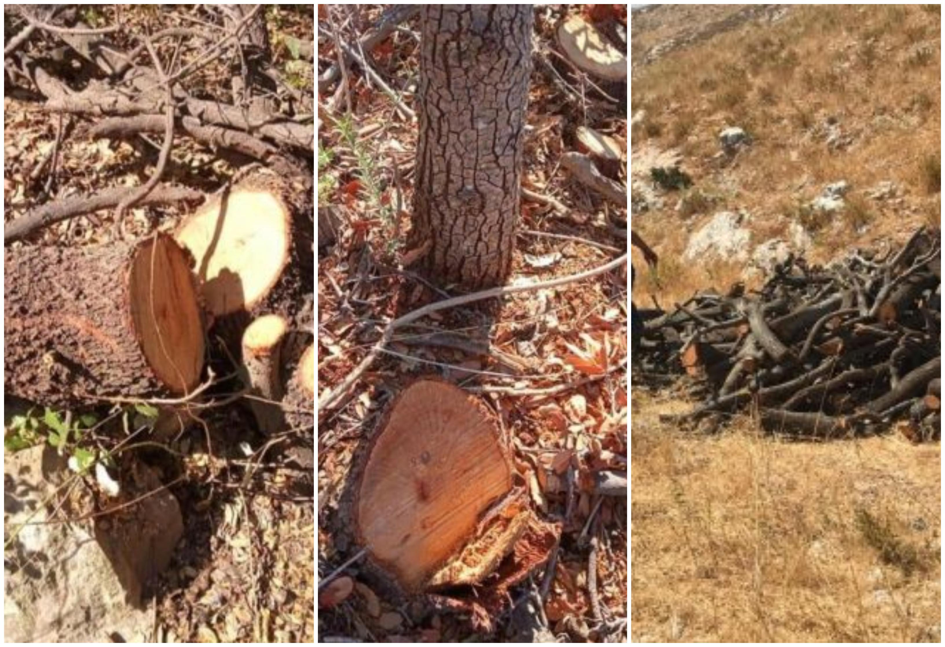 بالصور/ مجزرة بيئية بحق أشجار سنديان معمرة في قضاء راشيا...متعهد استغفل وزارة الزراعة وأباد 800 شجرة تتراوح أعمارها بين 60 و 100 سنة