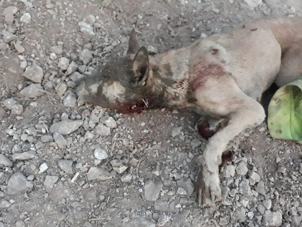 كلب شارد هاجم طفلة وشاب في جبشيت
